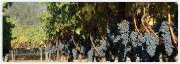 Le cabernet sauvignon (69)